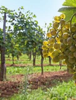 vins naturels de Jurançon